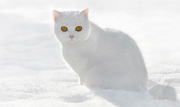 Gato_blanco_1