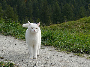 Gato_blanco_2
