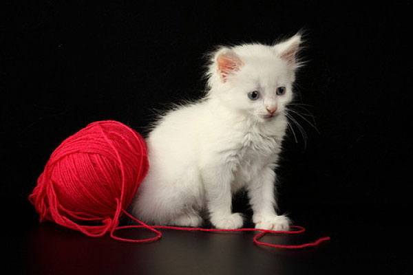Gato_blanco_3
