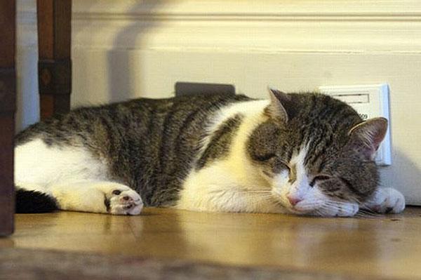 El gato Larry en plena siesta