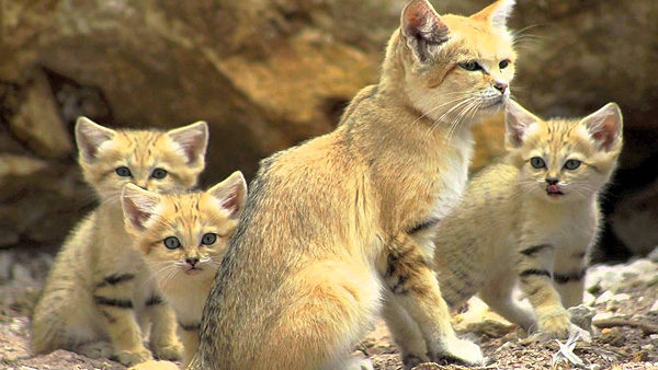 gatos_desierto_1