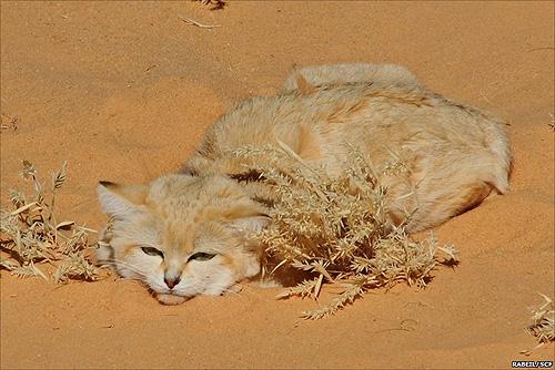 gatos_desierto_3