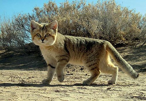gatos_desierto_4