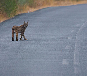Lince_6