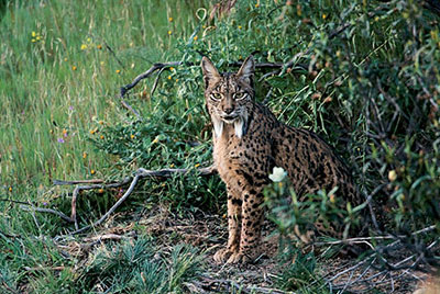 Lince_7