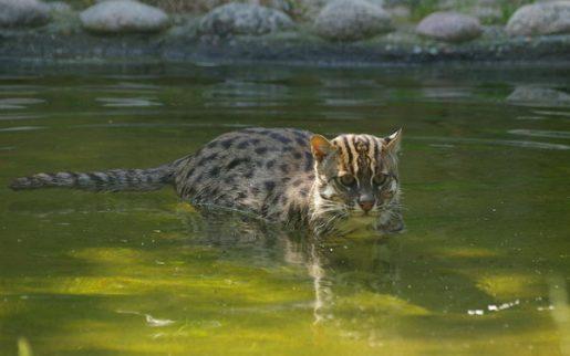 fishing-cat-15090705