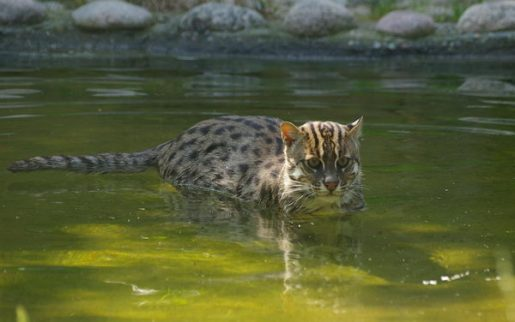 fishing-cat-15090705