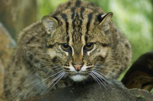 fishing-cat 2