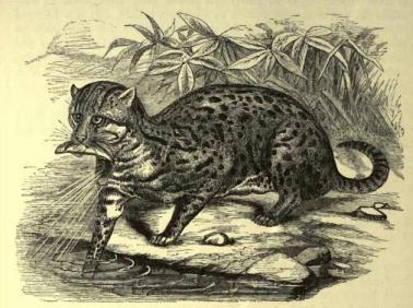 Fishing_cat_(f._viverrina)
