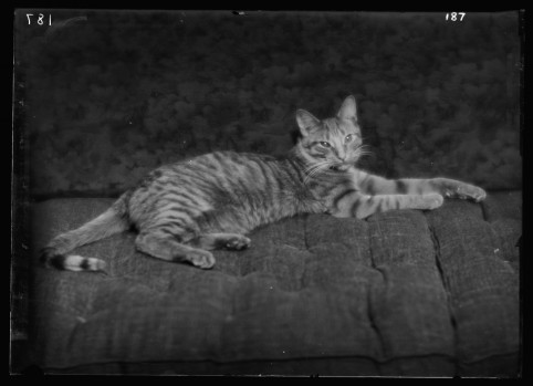 El gato Buzzer