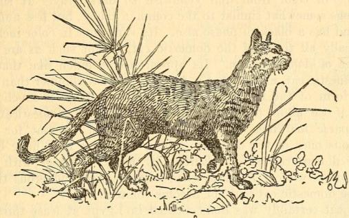 Felis Sylvestris Libyca, de Edward Howe Forbush (Capítulo 1)