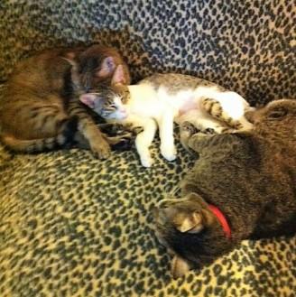 Los gatos Tibby, Sphinx y Nero