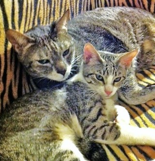 Los gatos Tibby y Sphinx