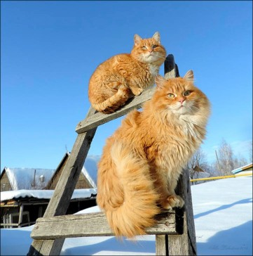 Dos de los gatos de Alla Lebedeva