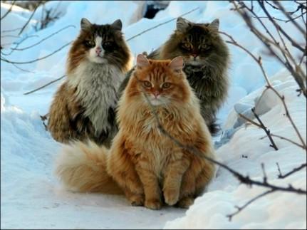 Tres gatos siberianos de Alla Lebedeva